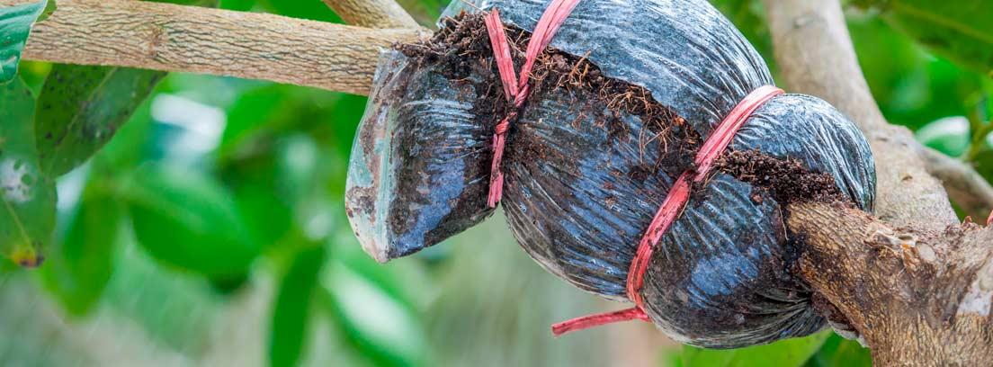 Cómo hacer injertos de árboles frutales paso a paso