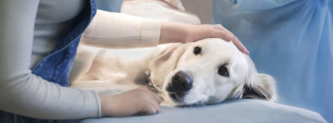perra de raza labrador en el veterinario.