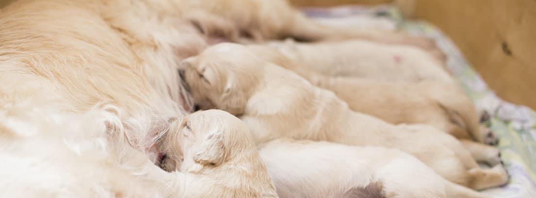 perra de raza labrador amamantando a sus cachorros.