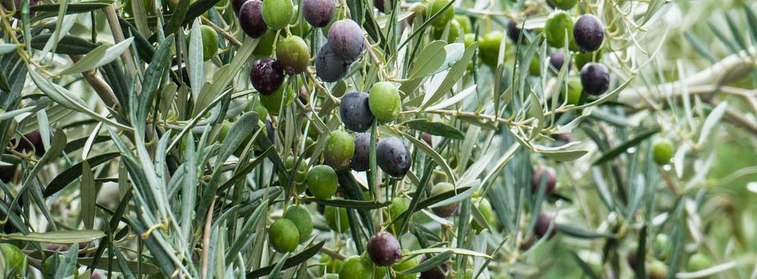 Ramas de olivo con aceitunas