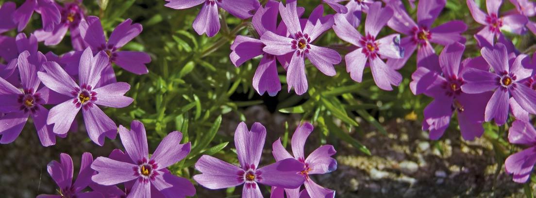 Planta de hierba luisa en floración