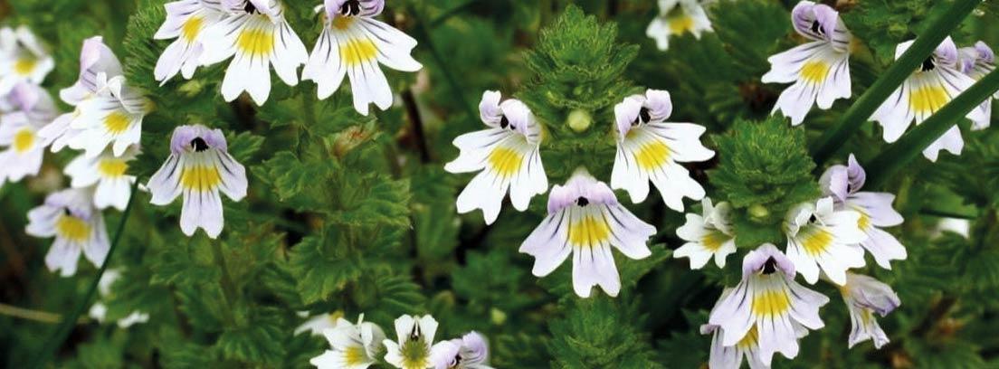 Flores de Eufrasia