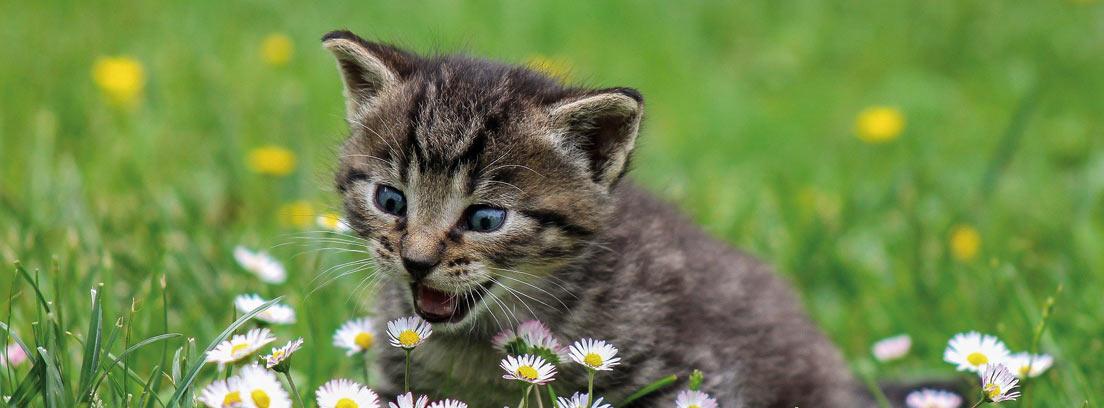 Gato gris entre margaritas