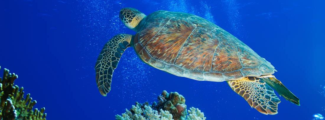 Tortuga gigante nadando en el mar
