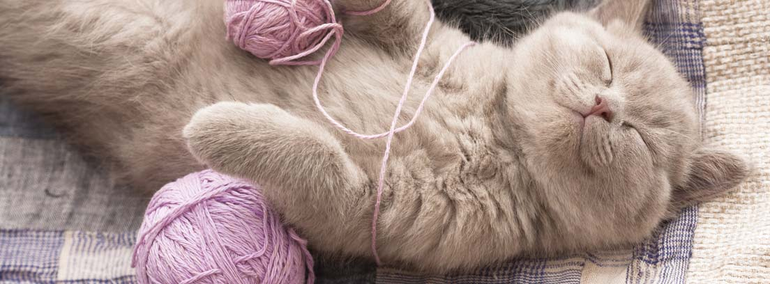 Gato gris plácidamente tumbado boca arriba con los ojos cerrados