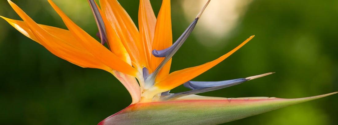 Flor de ave del paraíso
