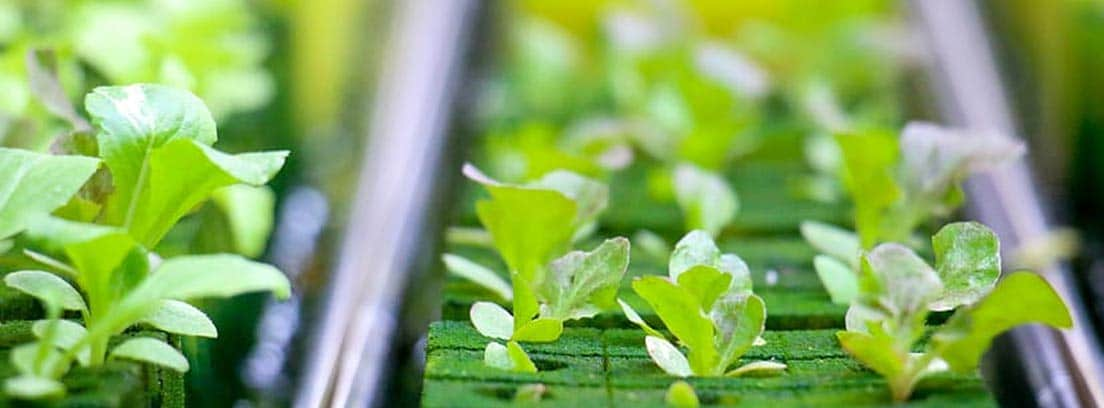 Plantas en un huerto hidropónico