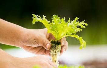 Mano levantando una planta cultivada en un huerto hidropónico