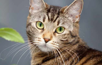 Gato atigrado con la cabeza girada para mirar a cámara, tiene detrás una planta.