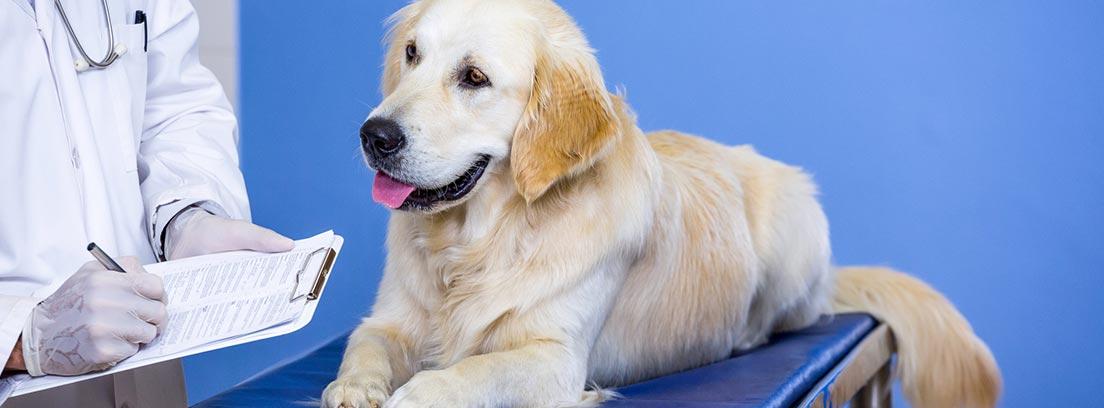 perro de raza Golden retriever en la camilla del veterinario