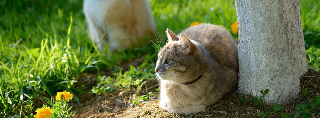 Dos gatos atigrados tumbados en el césped
