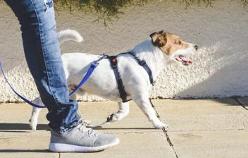 Perro de raza Jack Russel paseando por la calle con una corra azul.
