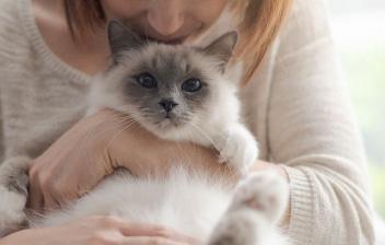 Gato de raza siamés en brazos de su dueña