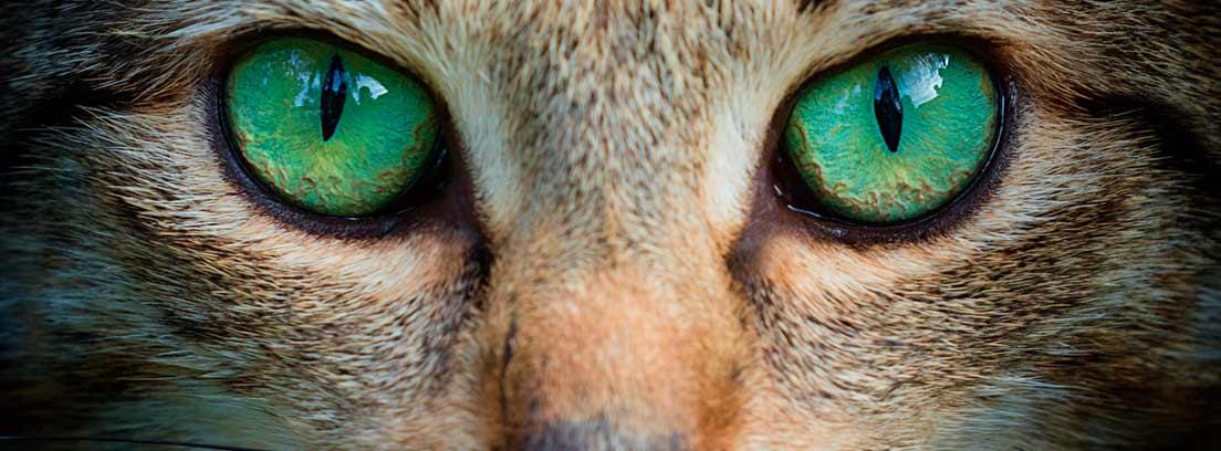 Primer plano de ojos verdes en un gato atigrado