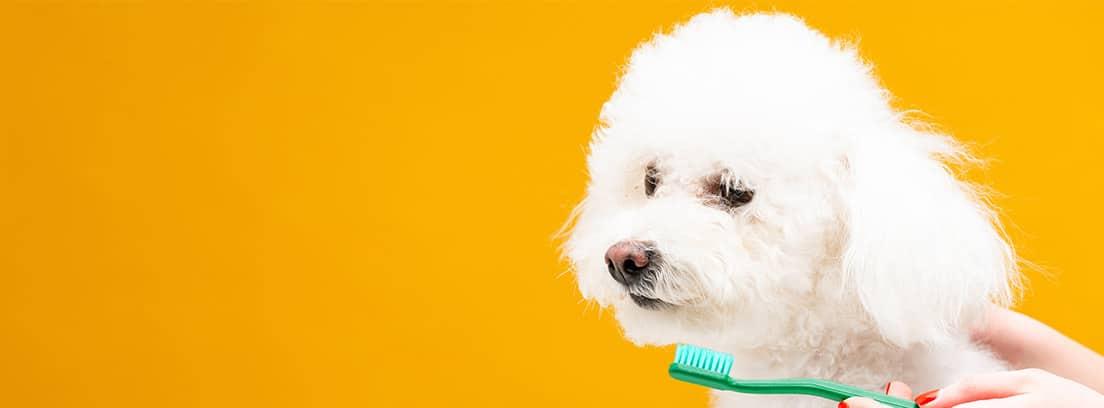 perro de raza caniche con un cepillo de dientes verde.