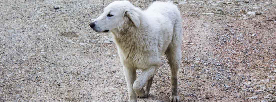 Perro de raza grande cojeando.