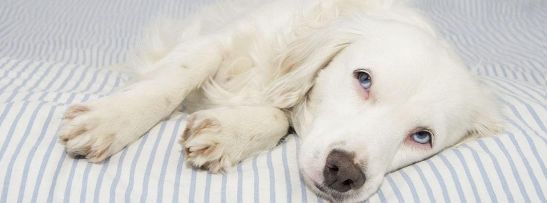 Labrador de color blanco tumbado sobre tela de rayas blancas y azules