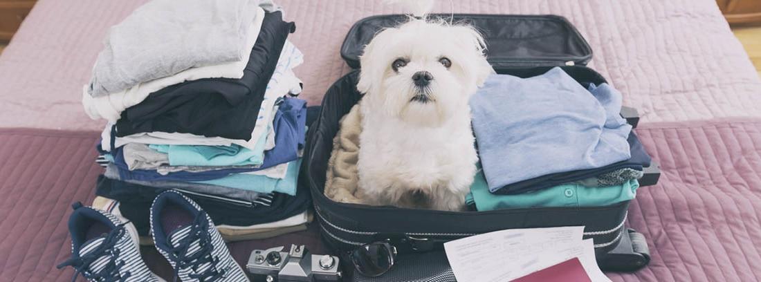 Perro de raza maltés en el interior de una maleta