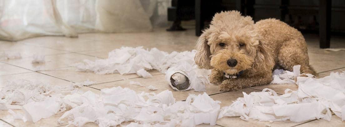 Perro de raza caniche en el suelo con varios rollos de papel higiénico deshechos.