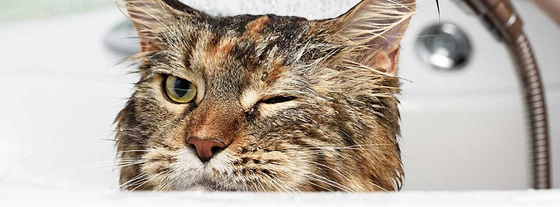 Gato atigrado debajo del grifo de la ducha