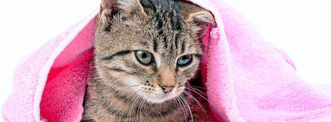 Gato atigrado envuelto en una toalla rosa