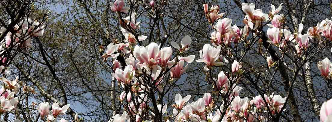 Magnolio con flores
