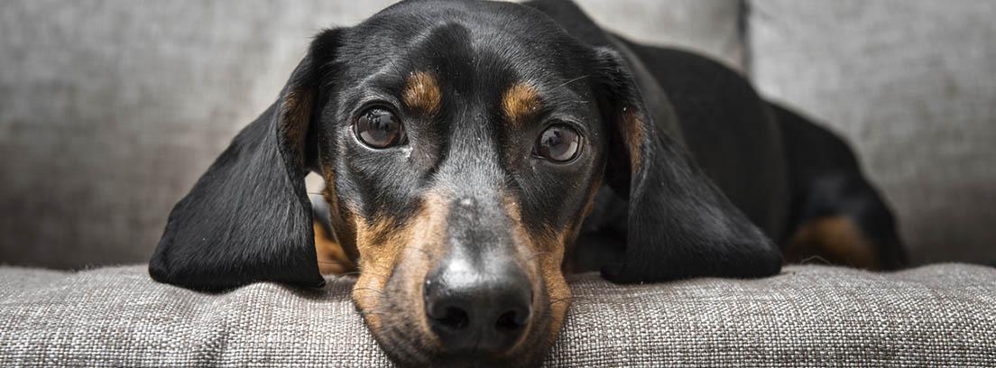 Perro de raza Teckel sobre un sofá gris oscuro.