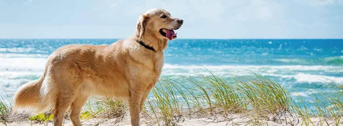 Perro de raza Golden Retriever en la playa, con el mar de fondo