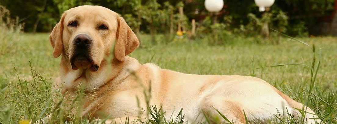 Perro de raza Labrador tumbado en el césped