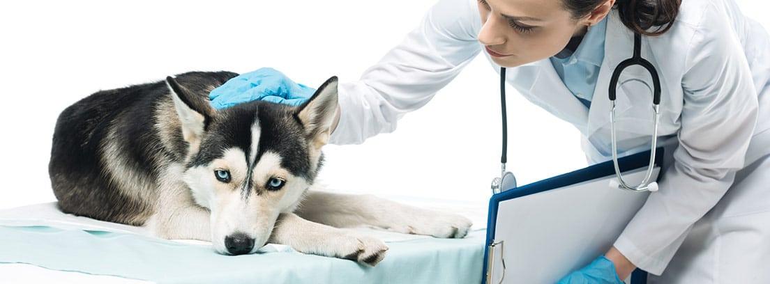 Perro de raza Husky siberiano en la consulta del veterinario.