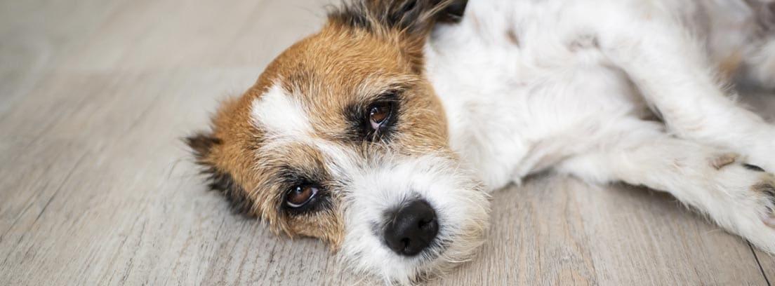 Perro tumbado en el suelo con cara de cansado