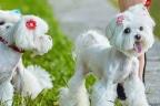 Tres perras de raza Bichón Maltés con horquillas en el pelo