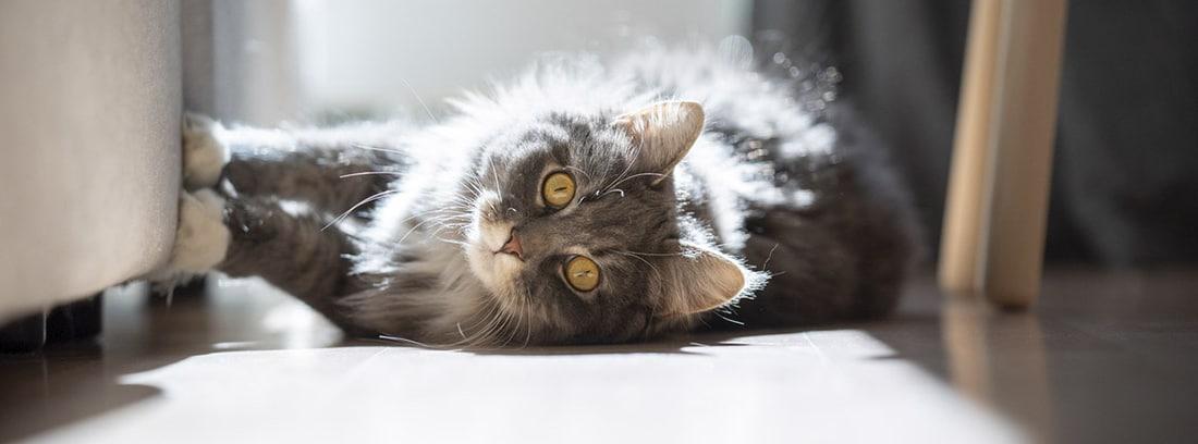 gato tumbado en el sofá