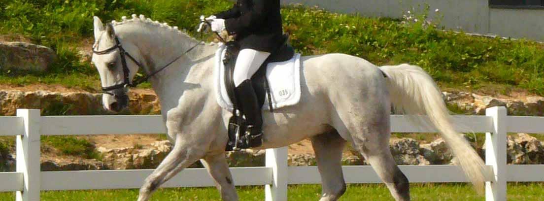 Caballo Shagya árabe en competición