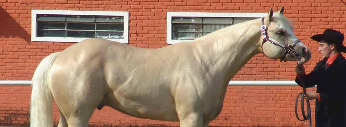 Caballo Quarter Horse en exposición