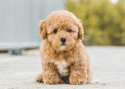 Cachorro de caniche toy color albaricoque sentado en la calle