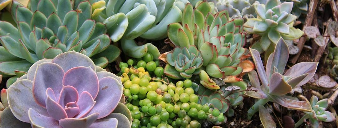 Plantas crasas y suculentas: cuidados básicos