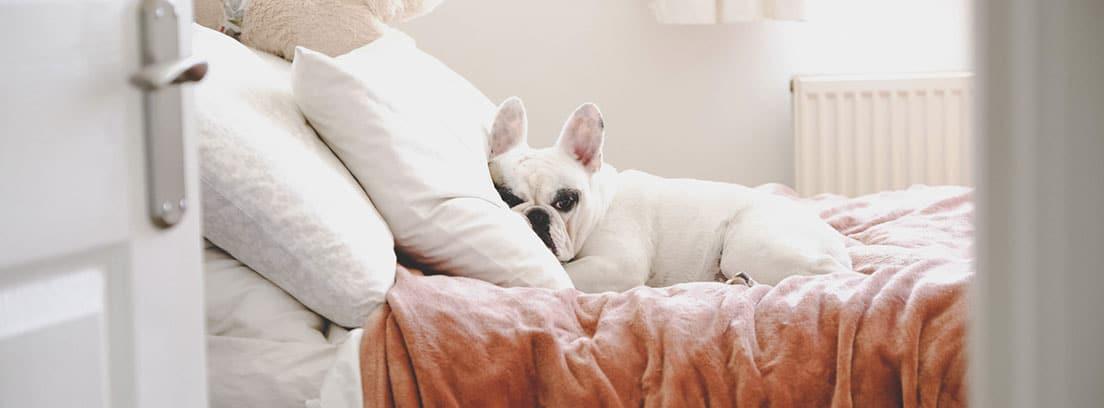 Perro de raza Bulldog francés tumbado en la cama con la cabeza sobre la almohada.