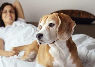 Perro de raza Beagle en la cama con su dueña.