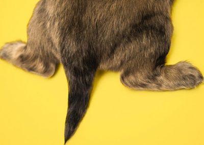 Rabo de un cachorro sobre fondo amarillo
