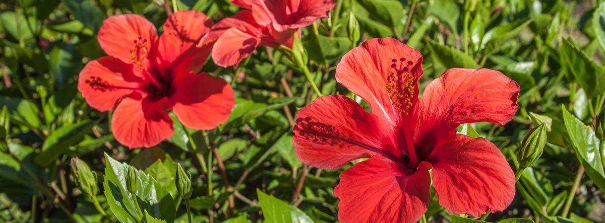 Planta pacífico con flores rojas