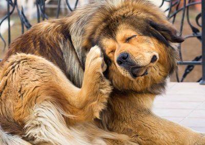 Perro de raza mastín rascándose la cara con una pata trasera
