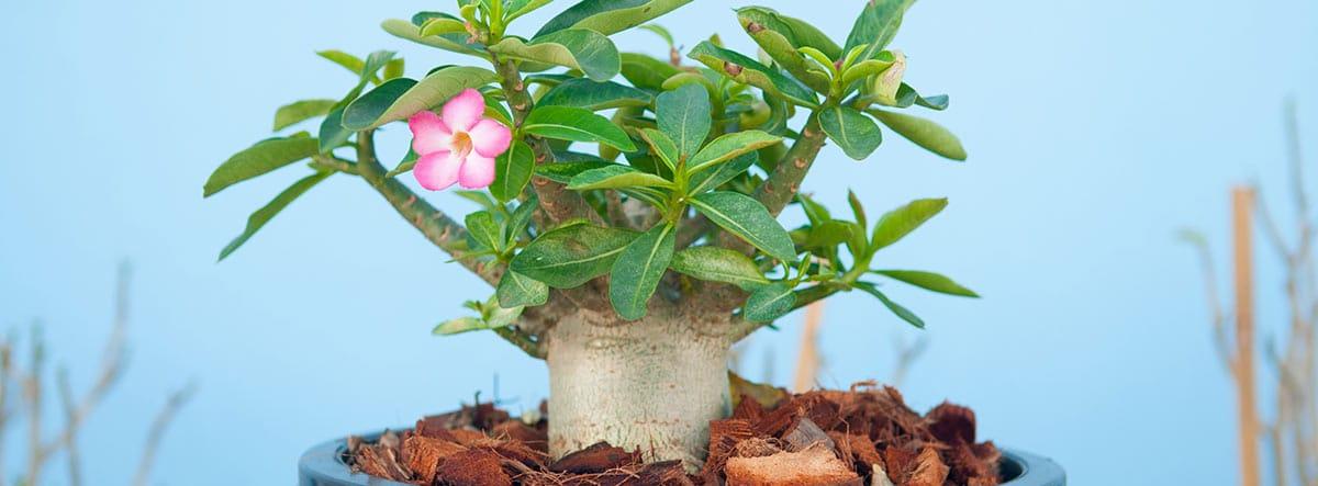 Rosa del desierto en una maceta