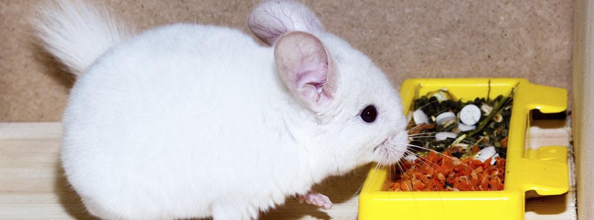 Chinchilla de color blanco comiendo