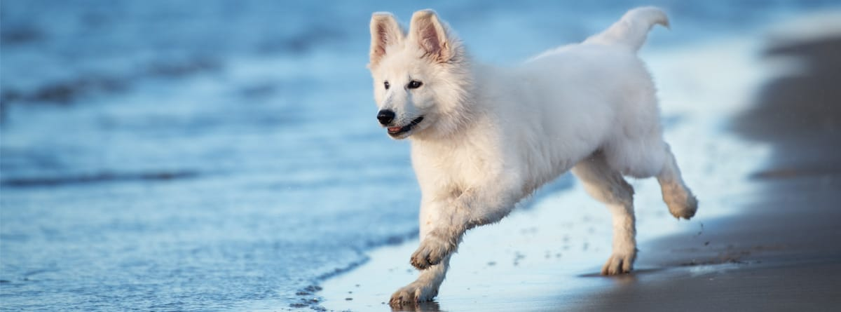 Cachorro de pastor blanco suizo corriendo en la playa