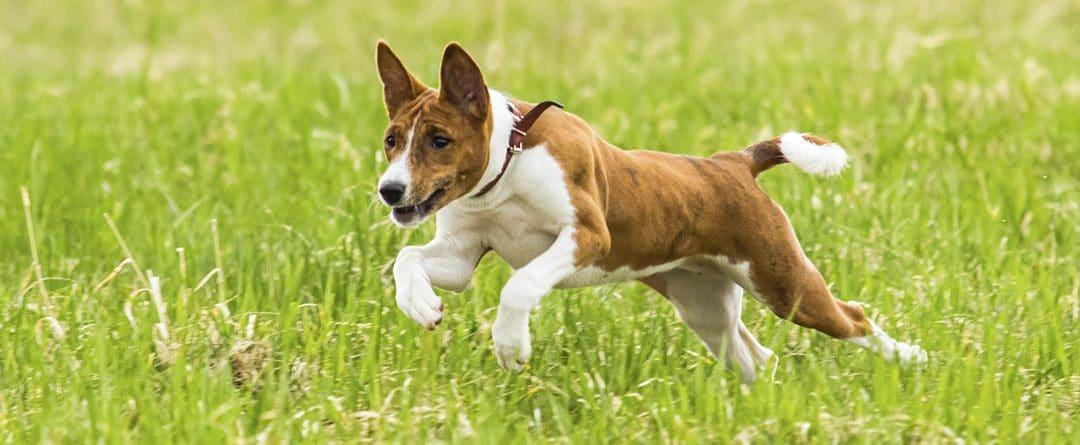 Perros Basenji: todo lo que debes saber