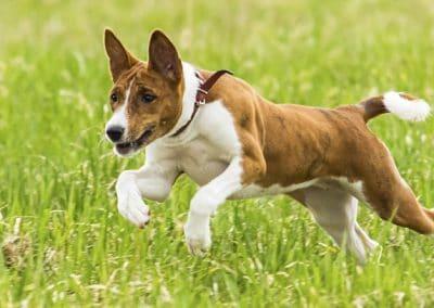 Perro de raza Basenji corriendo por el campo