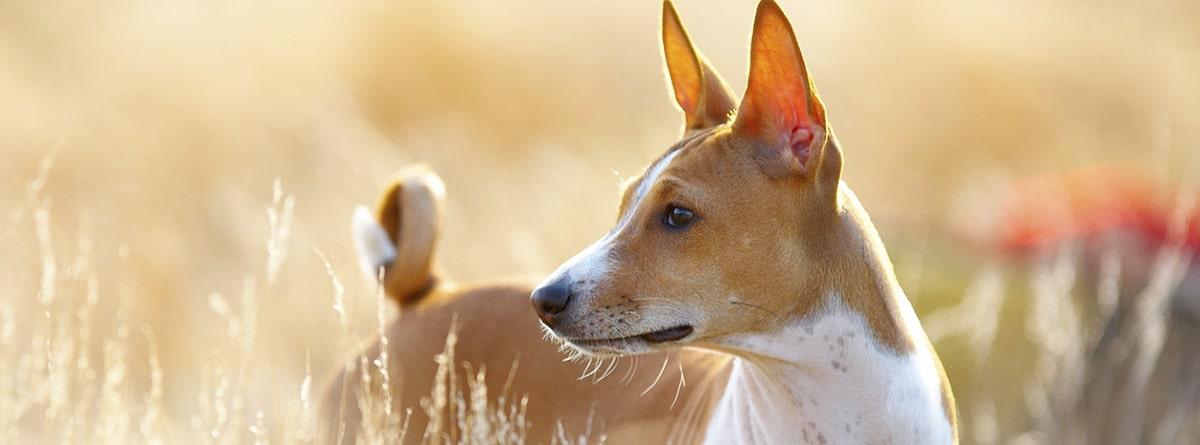 Perro de raza Basenji por el campo
