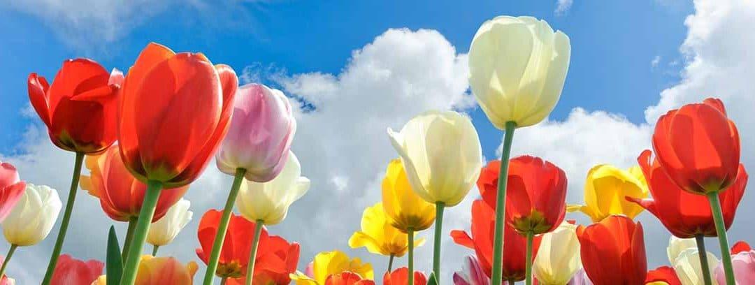 Bulbos: qué son, cuidados y plantación