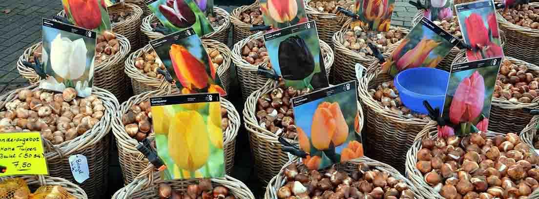 cestas en un mercado con distintos tipos de bulbos de tulipanes